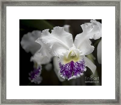 Cattleya Catherine Patterson Full Bloom Framed Print by Terri Winkler