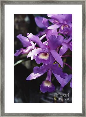Cattleya Of Costa Rica Framed Print by Gregory G. Dimijian, M.D.