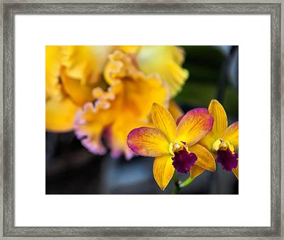 Cattleya Orchid Framed Print by Chris Flees