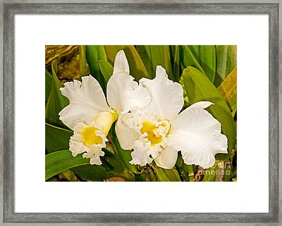 Cattleya Orchid Framed Print by Millard H. Sharp