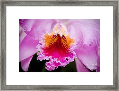 Cattleya Orchid Framed Print by Oscar Gutierrez