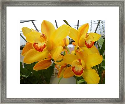 Cattleya Orchid Triplets Framed Print by Lingfai Leung