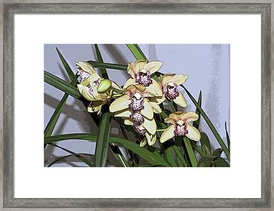 Cattleya Orchids Framed Print by Beth Wolff