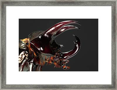 Caucasus Beetle Head Framed Print by Tomasz Litwin