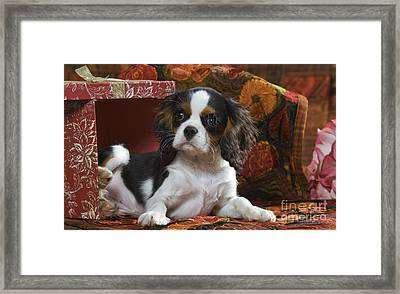 Cavalier King Charles Puppy Framed Print by Jean-Michel Labat