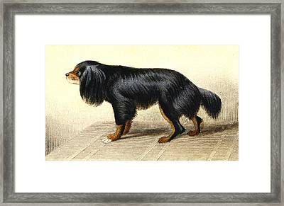 Cavalier King Charles Spaniel Framed Print by Collection Abecasis