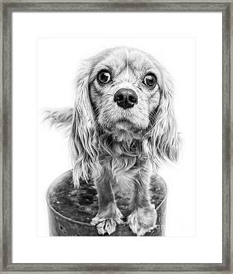 Cavalier King Charles Spaniel Puppy Dog Portrait Framed Print