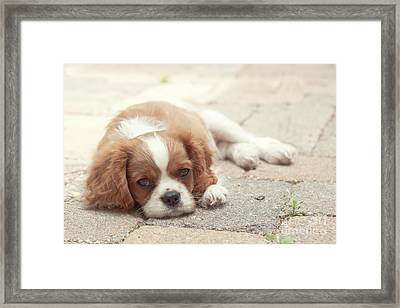 Cavalier Puppy Framed Print by Kay Pickens