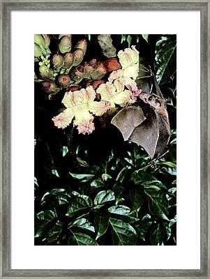 Cave Nectar Bat On Flower Framed Print by Fletcher & Baylis