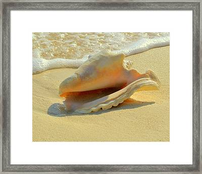 Cayman Conch #1 Framed Print