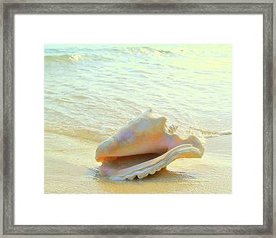 Cayman Conch #3 Framed Print