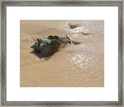 Cayman Conch #5 Framed Print
