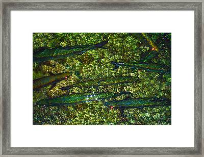 Cayman Tarpon Framed Print by Carey Chen