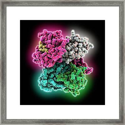 Cd8 Receptor Bound To Antigen Framed Print