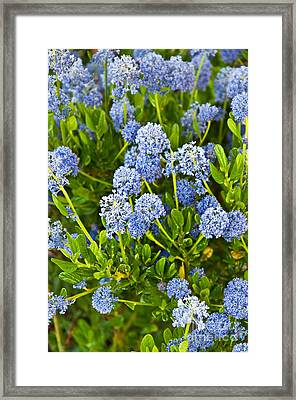 Ceanothus Impressus Santa Barbara Flowering Bush Framed Print