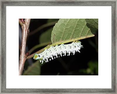 Cecropia Moth Caterpillar Framed Print