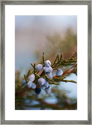 Cedar Berries Framed Print