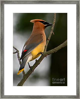 Cedar Wax Wing II Framed Print by Roger Becker