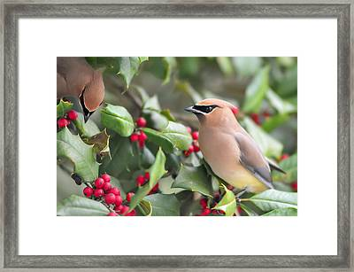 Cedar Waxwing In Holly Tree Framed Print by Terry DeLuco