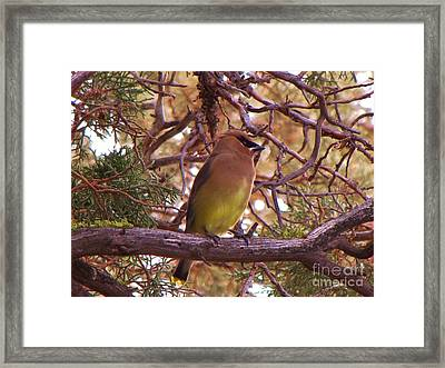 Cedar Wax Wing In Juniper Framed Print by Michele Penner