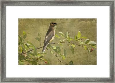 Cedar Waxwing Berry Pickin  Framed Print