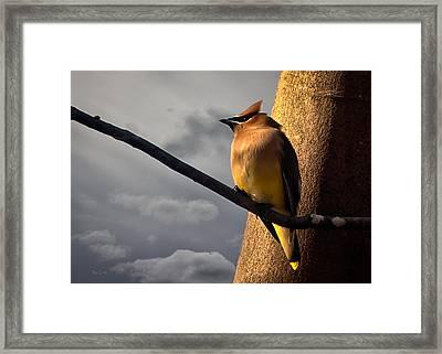 Cedar Waxwing Framed Print by Bob Orsillo