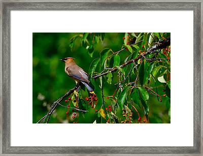 Cedar Waxwing Framed Print by Dan Hefle