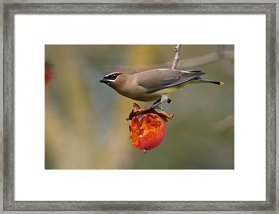 Framed Print featuring the photograph Cedar Waxwing by Doug Herr