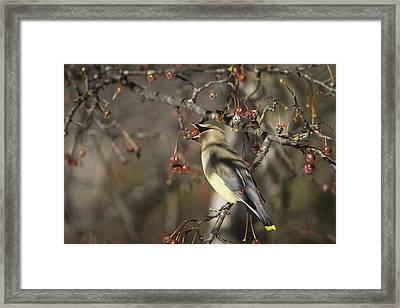 Cedar Waxwing Eating Berries 6 Framed Print by Thomas Young