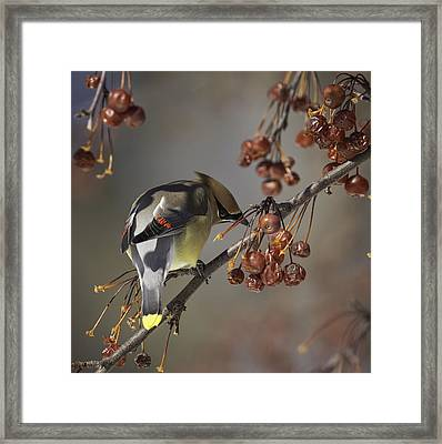 Cedar Waxwing Eating Berries 7 Framed Print