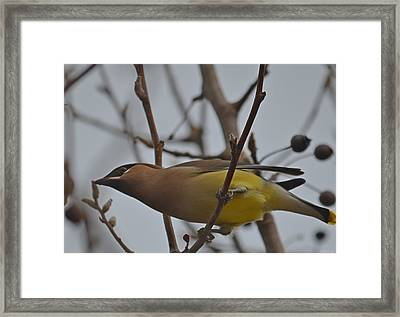 Cedar Waxwing Feasting In Foggy Cherry Tree Framed Print by Jeff at JSJ Photography
