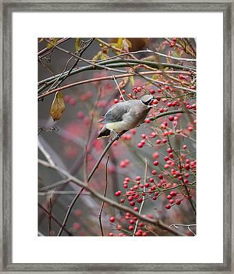 Cedar Waxwing Feeding Framed Print by Bill Wakeley