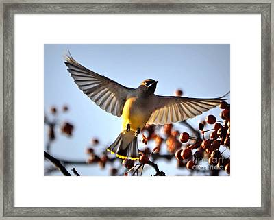 Cedar Waxwing Flight Framed Print