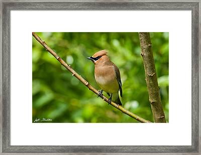Cedar Waxwing Gathering Nesting Material Framed Print