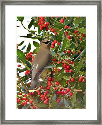 Cedar Waxwing Framed Print by Kelly Nowak
