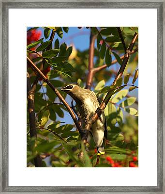 Framed Print featuring the photograph Cedar Waxwing by James Peterson
