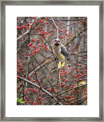Cedar Waxwing Mouthfull Framed Print by Bill Wakeley