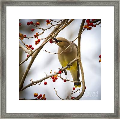 Framed Print featuring the photograph Cedar Waxwing by Ricky L Jones