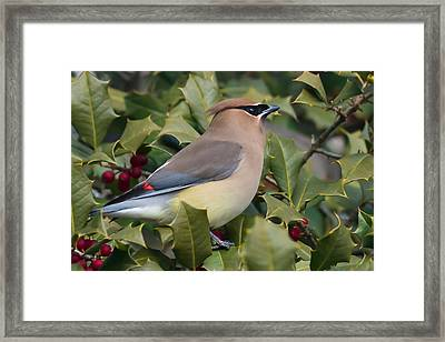 Cedar Waxwing Side Profile Framed Print by Terry DeLuco