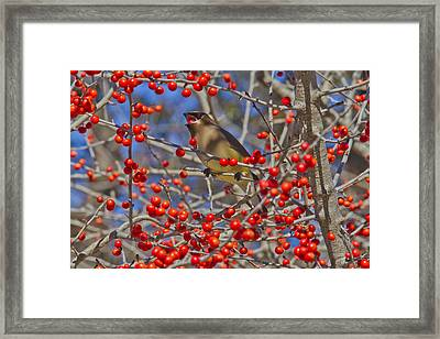 Cedar Waxwing In The Act Of Swallowing A Possumhaw Fruit Framed Print