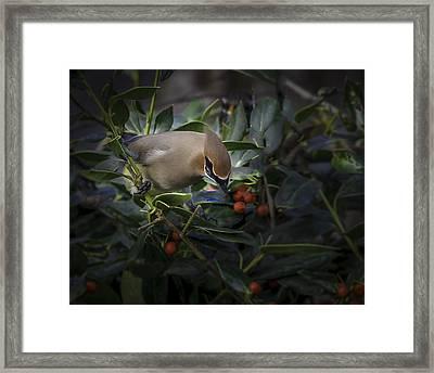 Cedar Waxwings  2012-2 Framed Print