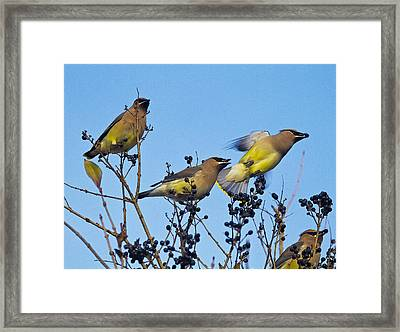 Cedar Waxwings And  Berries Framed Print by Constantine Gregory