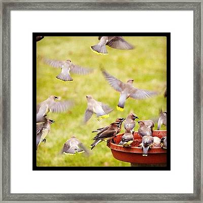 Cedar Waxwings  Framed Print by Heidi Hermes