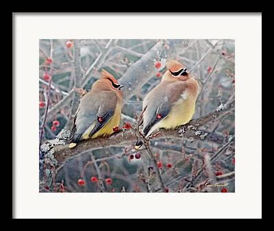 Cedar Waxwings Framed Prints