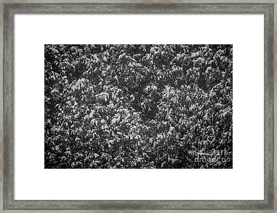 Cedars In Snow Framed Print by Elena Elisseeva