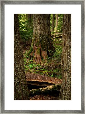 Cedars In The Avalanche Creek Watershed Framed Print by Mark Serfass