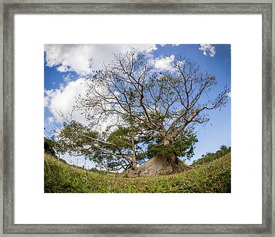 Ceiba Framed Print by Carl Engman