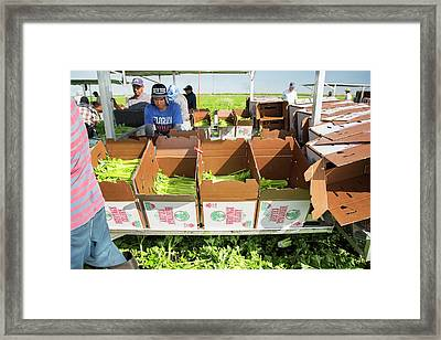 Celery Harvest Framed Print by Jim West