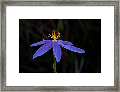Celestial Lily Framed Print