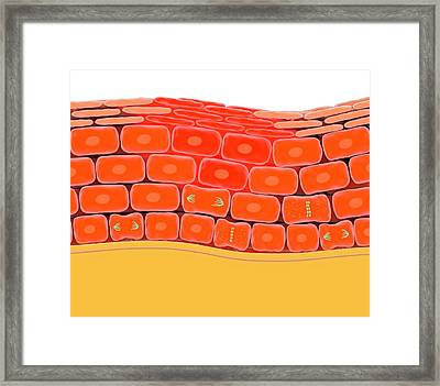 Cell Division During Skin Wound Repair Framed Print by Science Photo Library